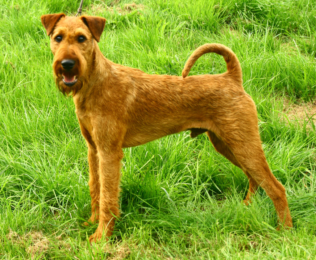 irish terrier club of america irish terrier dog breed history and some interesting facts 3184