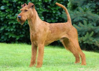 irish terrier club of america irish terrier dog breed history and some interesting facts 9058