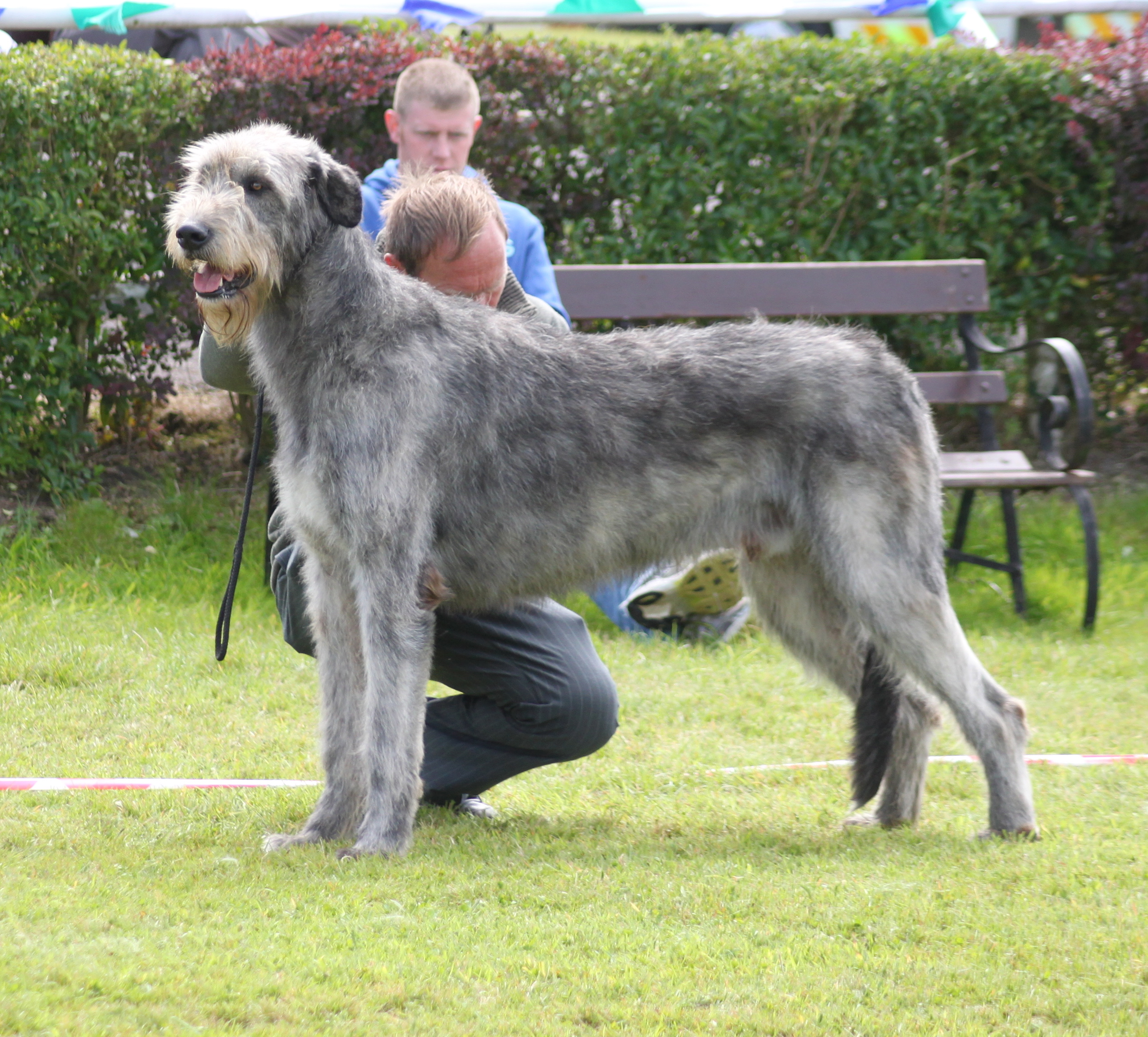 photos of irish wolfhound 10 biggest dog breeds in the world you d want to own 3245