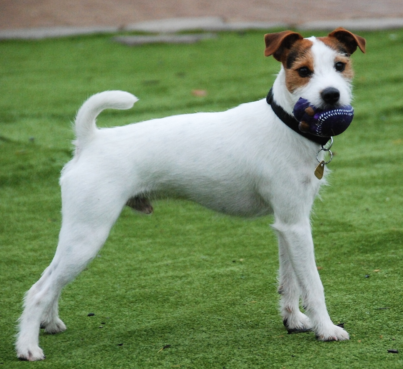 russell terrier breed parson russell terrier dog breed history and some 1814