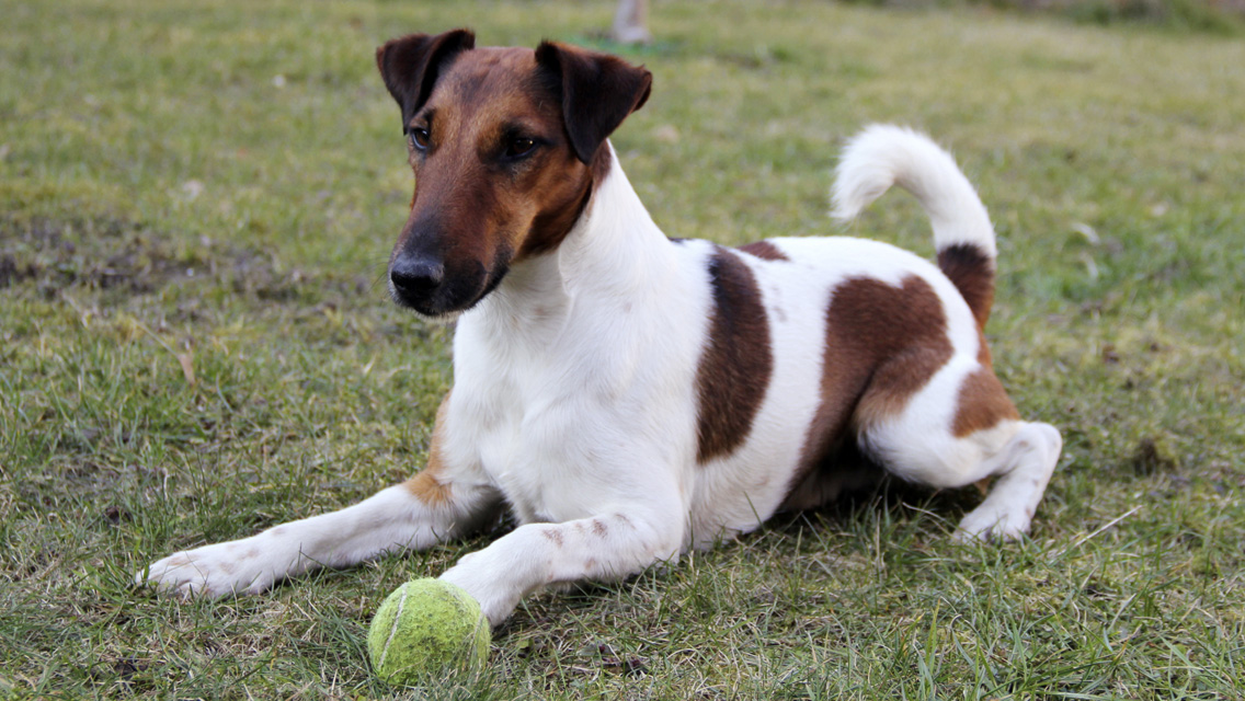 smooth fox terrier breeders smooth fox terrier dog breed history and some 9481