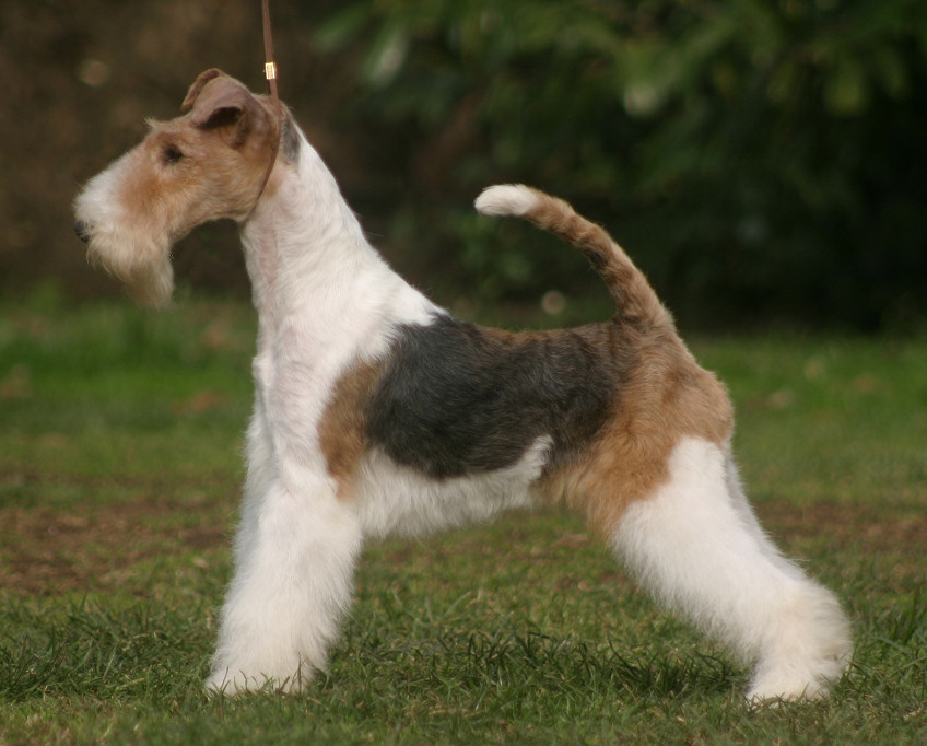 wire fox terrier haircut wire fox terrier breed history and some interesting 5700