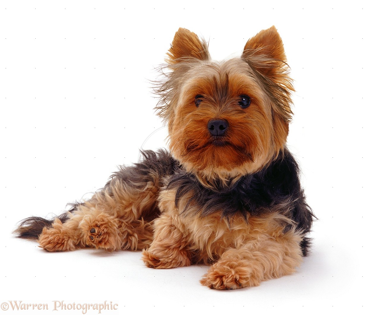 yorkie history yorkshire terrier dog breed history and some interesting 2274